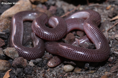Blackish Blind Snake